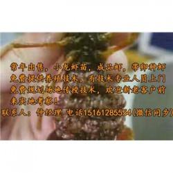 周村虾苗行情@小龙虾种虾报价表