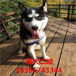 益阳杜高猎犬出售看家护院卡斯罗