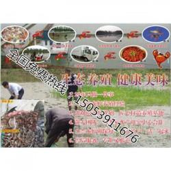 天台县哪里有龙虾苗卖—小龙虾育苗育种基地