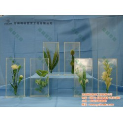 小麦生长史标本、标本、雨林教育