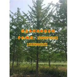 25公分实生银杏树价格、实生银杏树、浩威银
