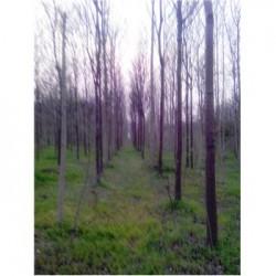 常年供应楸树2-6-8-10-12-14-16-18-20公分