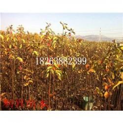 金花梨树成品苗优质供应商优质梨树苗批发