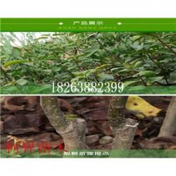 巴梨树种苗图片批发价格梨树小苗什么价格合