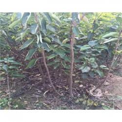 吉塞拉樱桃成品苗多少钱一棵