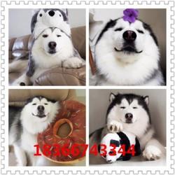 益阳成年科目马犬价格大型猎犬杜高犬