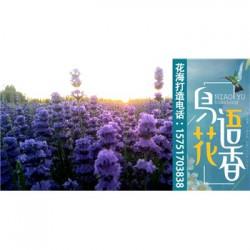 鸭茅种子丨江苏春百宝种业