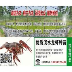 淄博哪里有小龙虾苗    小龙虾种苗现在价格