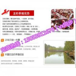 遂溪县淡水龙虾苗批发价格—种虾厂家出售价