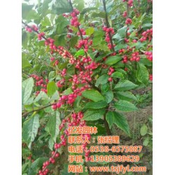 信阳北美冬青树苗、泰山区亿发园林、北美冬