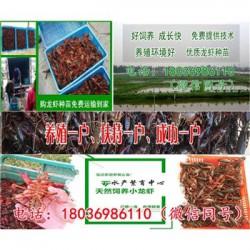 广西今日小龙虾苗批发价格《一亩能产多少龙