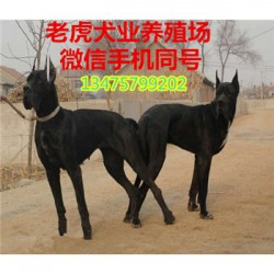 云南丽江纯种活体马犬价格纯种杜高犬长期出