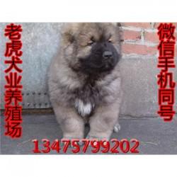 广西桂林卡斯罗犬价格三个月马犬价格 保健