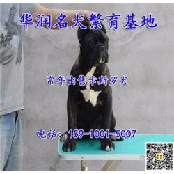 辽宁朝阳三个月卡斯罗犬哪里有卖的