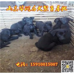 天津津南纯种黑狼犬基地在那里