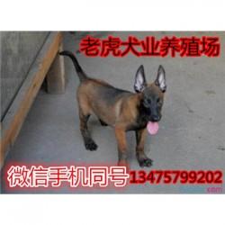 陕西榆林哪里有卖杜高犬三个月马犬价格 保
