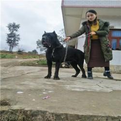 衢州成年科目马犬价格血统马犬出售