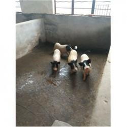 藏香猪养殖场福建厦门市周边什么地方有迷你