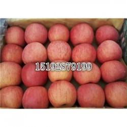 今 日 山东万亩红富士苹果热卖价格