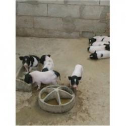 藏香猪养殖场辽宁葫芦岛市周边什么地方有迷